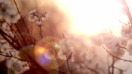 apricot flower in the sun. Shot with slider. video