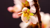 Apricot flower video