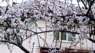 apricot flowers video