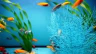 aquarium background blue calm fish swim grass video saver video