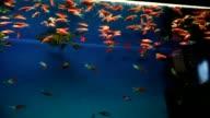 aquarium background calm fish blue swim grass video saver underwater video