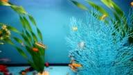 aquarium blue background  calm fish swim grass video saver video