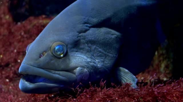 aquarium of genoa, a grouper close up video