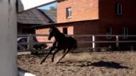 Arabian a gelding video