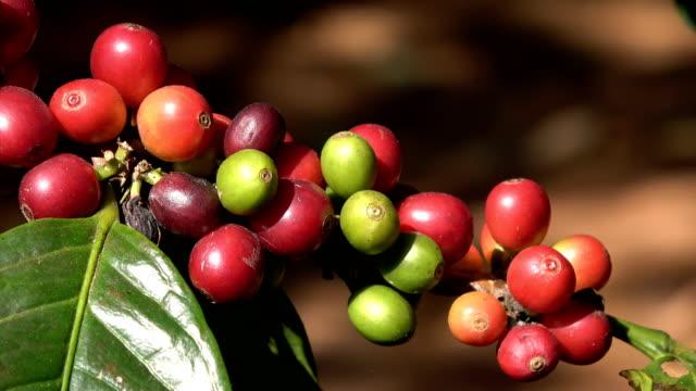 Arabica coffee beans video