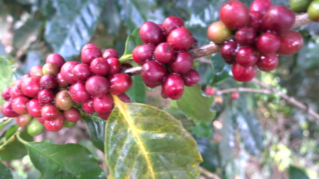 Arabica coffee on tree in the north of Thailand,Doi Chang,Chiengrai video