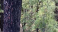 Arafo Corona Forestal in Teide National Park at Tenerife pines video