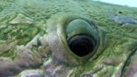 arapaima fish amazon video