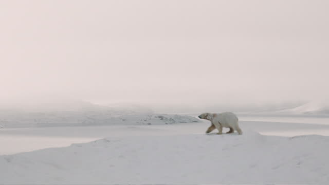 Arctic bear video