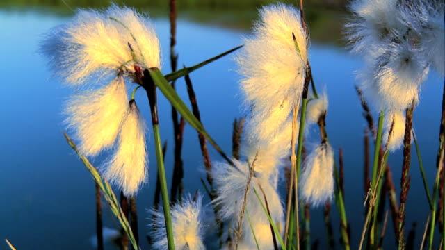 Arctic Cotton video