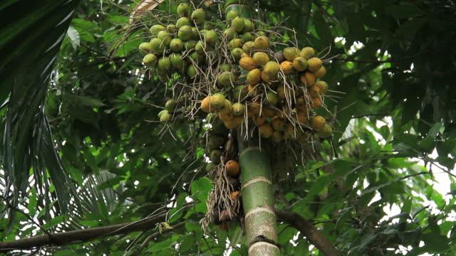 Areca nut tree video