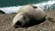 Argentinean fur seal lying on the coastline video