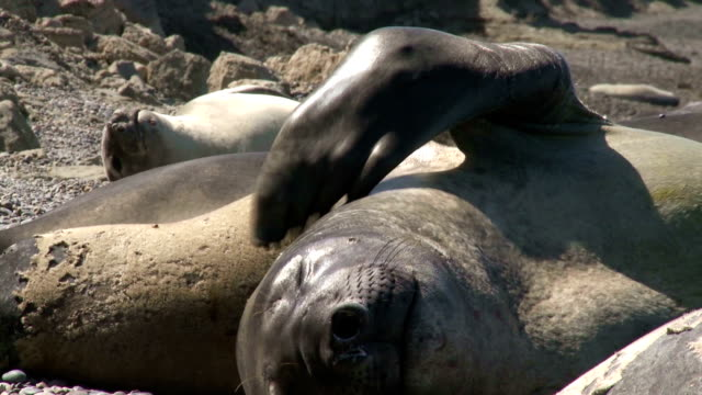 Argentinean fur seal scratching his neck video