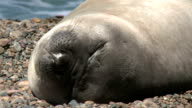 Argentinean fur seal sleeping on the coastline video