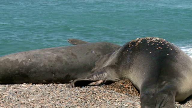 Argentinean fur seals. Punta Ninfas place video