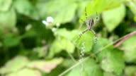 Argiope bruennichi. Spider lurks prey. video