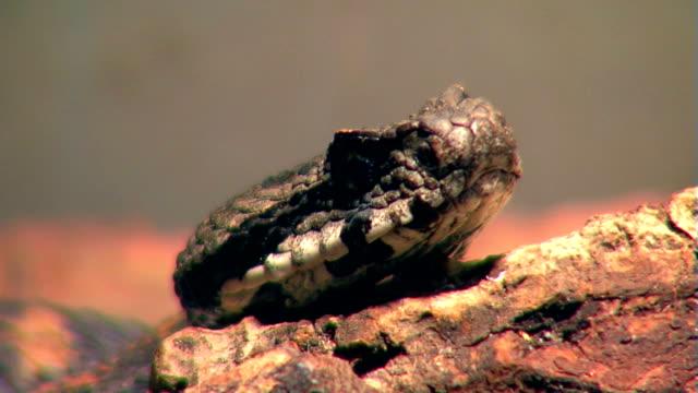 Armenian viper video