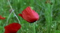 Around Poppy video