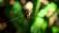 Arrowhead Orb Weaver Weaves A Strong Web String Support Line video