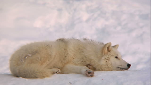 Artic Wolf relaxing (DVCPRO-HD) video