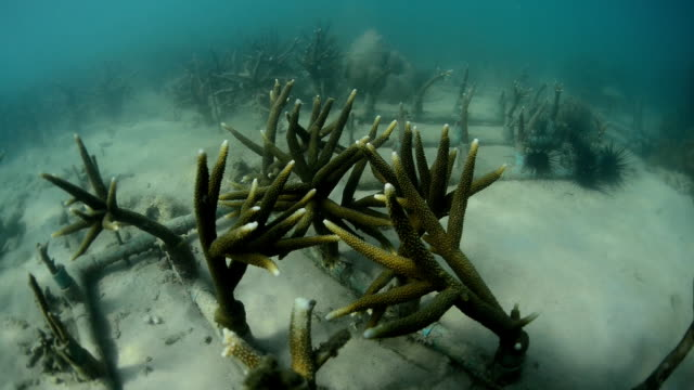 Artificial coral reef transplant in sea video