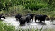 Asia buffalo group video
