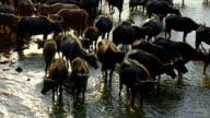 Asia buffalo , Thailand video