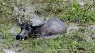 Asia buffalo video