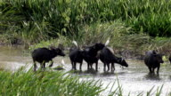 Asia Buffaloes video