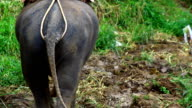 Asia elephant ass, walk in forest video
