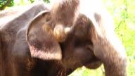 Asia elephant close-up video