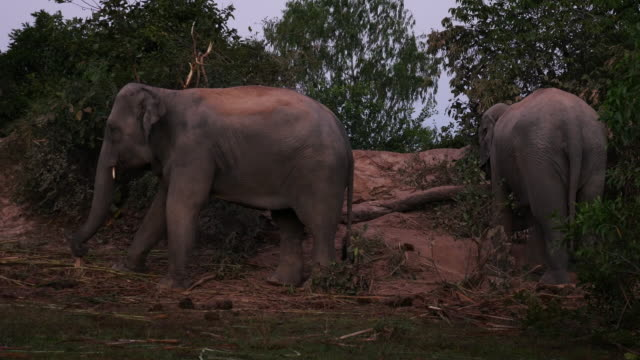 Asia elephant in surin,Thailand video