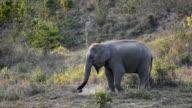 Asia Elephant video