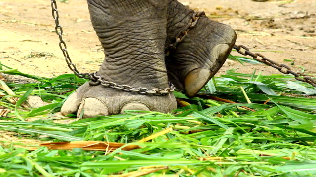 Asia elephant's foot chained video