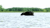Asia water buffalo video