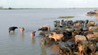 Asia water buffaloes group in Thailand video