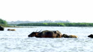 Asia water buffaloes in Thailand video