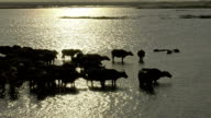 Asia water buffaloes video
