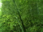 Asian Bamboo Forest in Wind Layers video