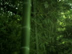 Asian Bamboo Forest in Wind video