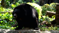 Asian black Buffalo bear have Abnormal Behaviour like circling video