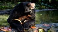Asian black Buffalo bear sit and soak in water video