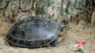 Asian box turtle video