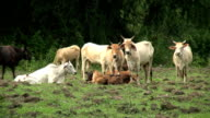 Asian Cattle Herd In Western Thailand-Close Up video