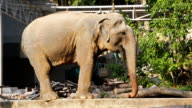 Asian Elephant drink water in construction site video