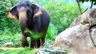 Asian Elephant eating grass video