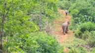 Asian Elephant video