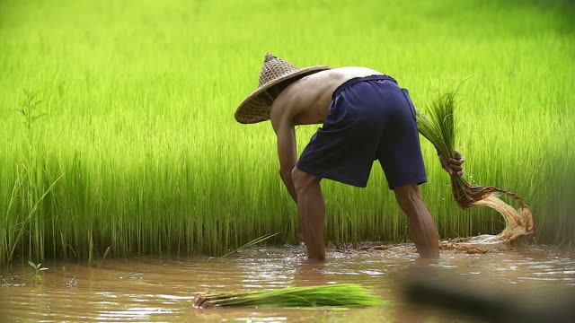 Asian farmer transplant rice seedlings in rice field,Farmer planting rice in the rainy season,Asian farmer is withdrawn seedling and kick soil flick of Before the grown in paddy field,Thailand. video