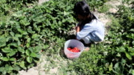 Asian Girl Filling Strawberry Bucket video
