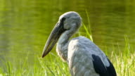 Asian openbill stork. video